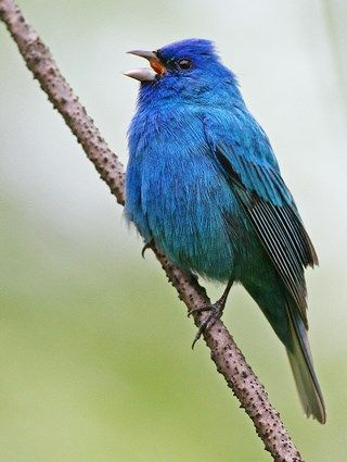 Male Indigo Bunting - by Andy Johnson