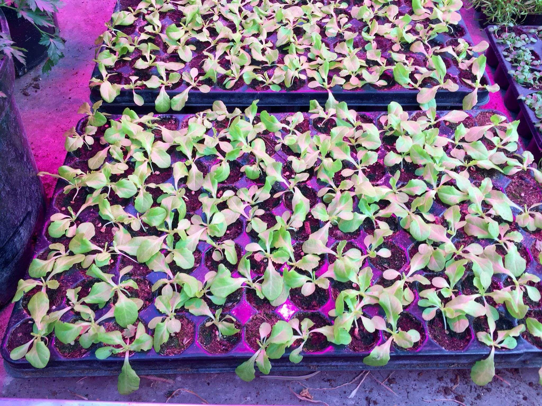 Salad Salat Led Pflanzen Lampe Licht Beleuchtung Gartenbau Gemusebau Gartnerei Horticulture Gre Pflanzenlampe Led Pflanzenlampe Pflanzenbeleuchtung