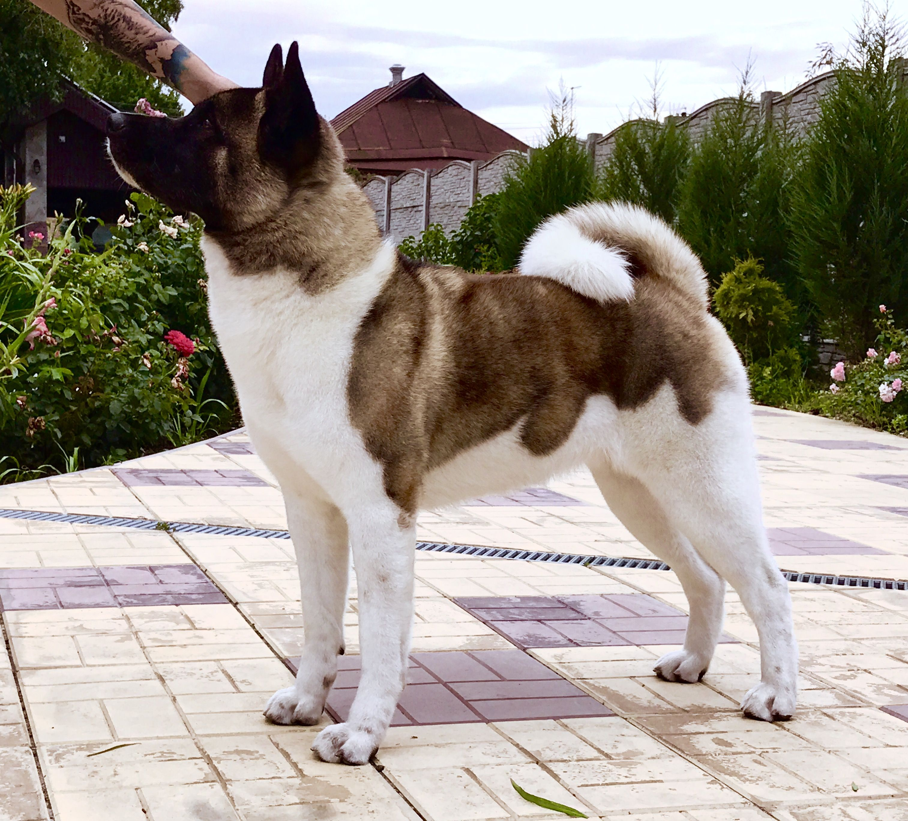 American Akita Indi All For Almighty Kennel