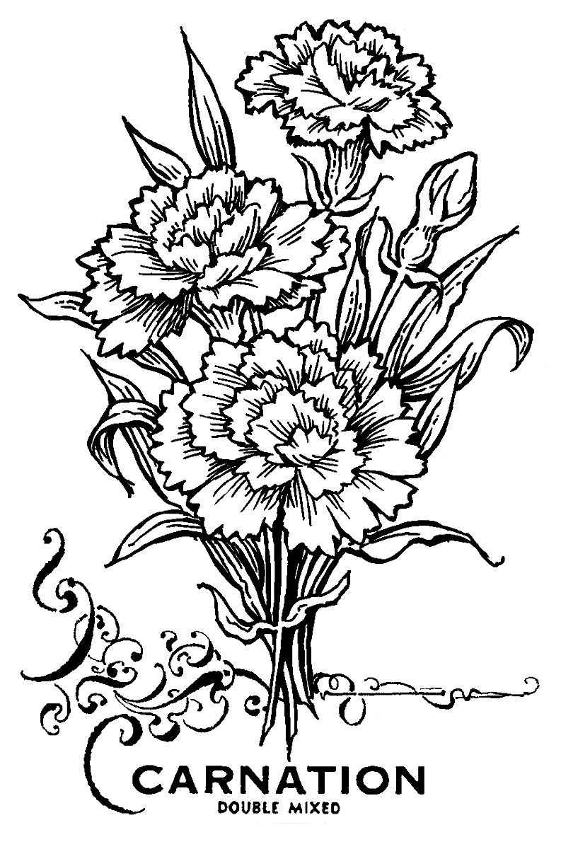 dianthus caryophyllus coloring pages - photo#13