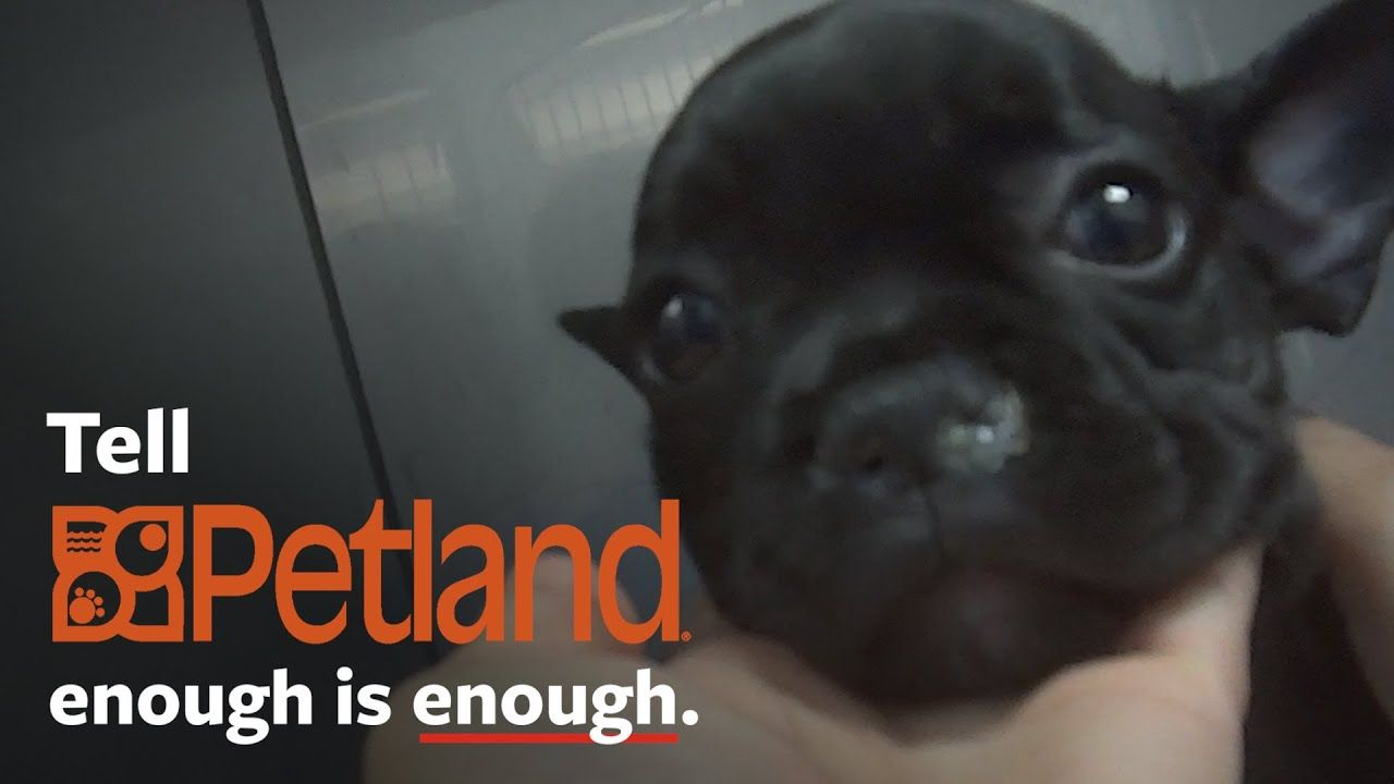Shocking undercover investigation at Petland! YouTube