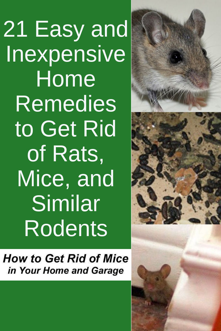 21 Easy And Inexpensive Home Remedies To Get Rid Of Rats Mice And Similar Rodents Getting Rid Of Rats Getting Rid Of Mice Rodent Repellent