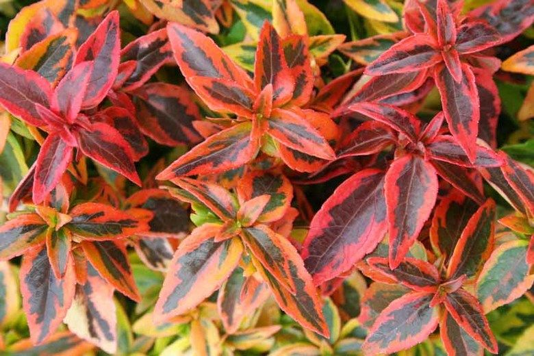 Abelia grandiflora kaleidoscope glossy abelia kaleidoscope semi abelia grandiflora kaleidoscope glossy abelia kaleidoscope semi evergreen shrub evergreen shrub mightylinksfo