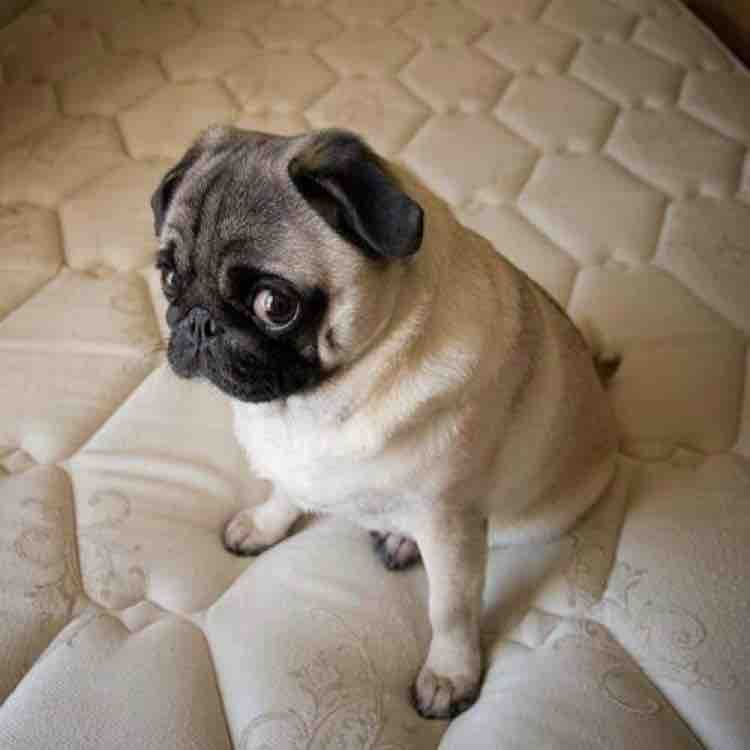 Adorable Pet Dogs Making Guilty Faces Cute Pugs Pugs Funny Animals