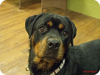 Pin By Humble Grateful On Everything Rottweiler Mix Rottweiler