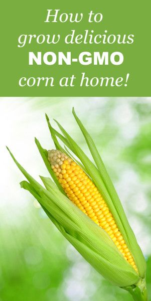 how-to-grow-corn