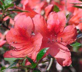 Rhododendron Nakaharae Is A Dwarf Red Flowered Species That Blooms Late To Very Late Its Geographical Origin Is N Ta Rhododendron Plant Rhododendron Azaleas