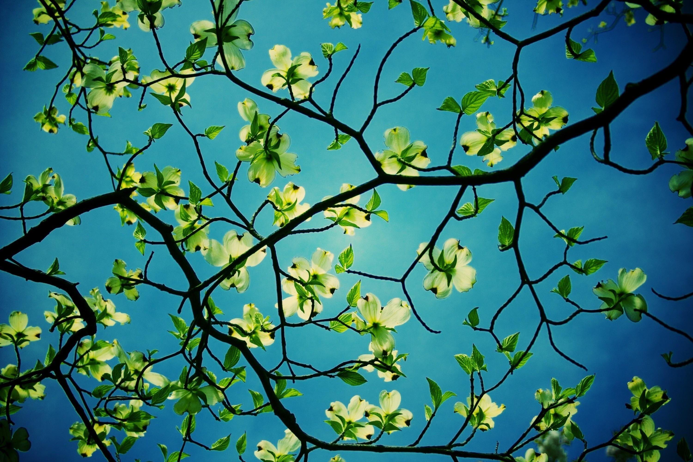 3000x2000 Px Wallpapers For Desktop Branch Backround By Twila Bishop For Pocketfullofgrace Com White Flowering Trees Tree Hd Wallpaper Dogwood Trees