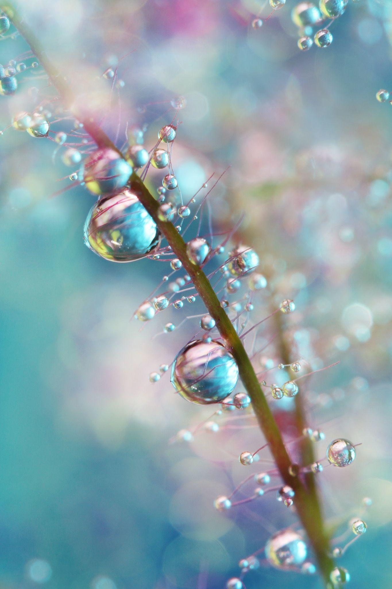 Rainbow Blue Smokey Drops by Sharon Johnstone - Water droplets on the 'Smoke Bush'