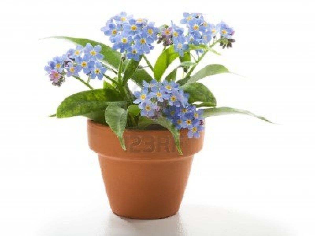 Forget Me Not Small Beautiful Flowers In Flower Pot Stock Photo 9406064