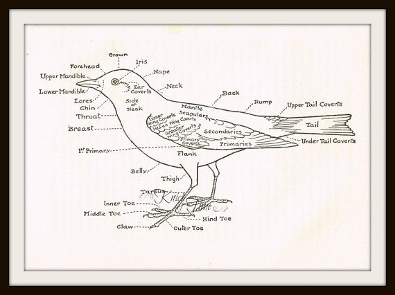1929 Bird Anatomy Print