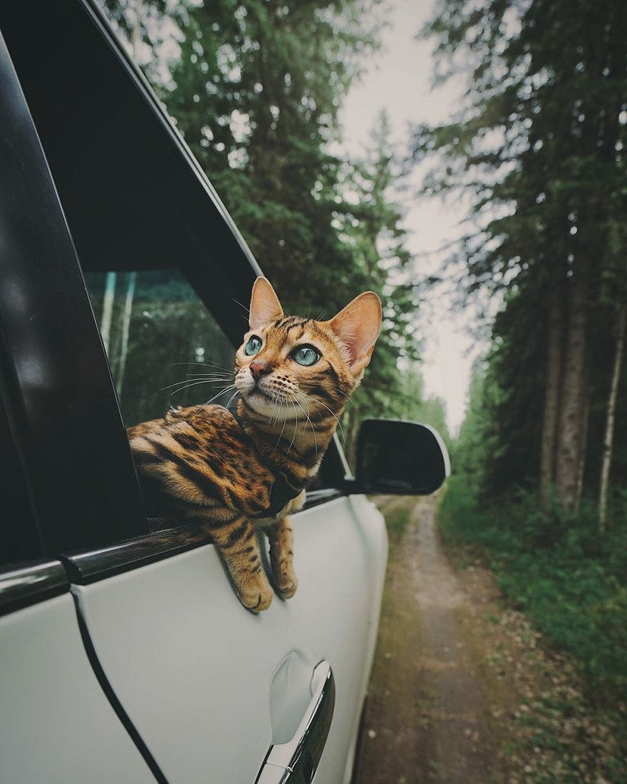 This Is Suki The Traveling Cat Who Lives A Better Life Than You Do Bengal Cat Adventure Cat Cat Photography