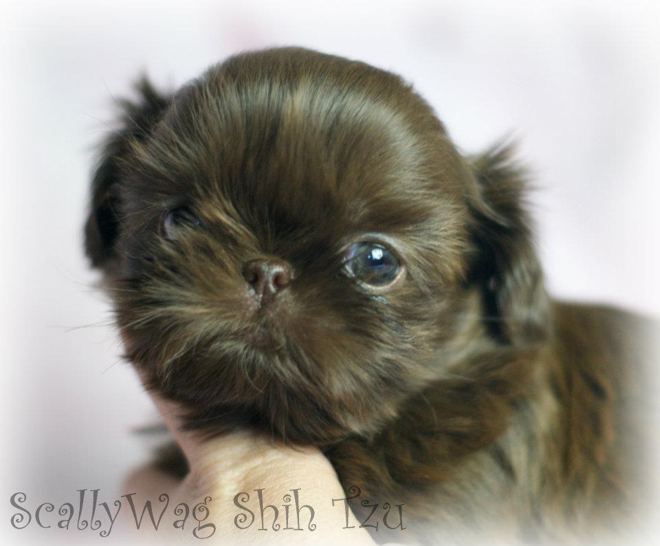 Scallywag Imperial Shih Tzu Shih Tzu Puppy Shih Tzu Shih Tzu Dog