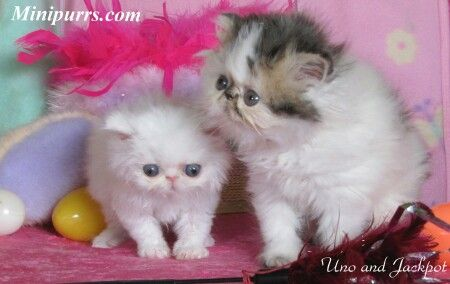 Mesmerizing Teacup Persian Cat Full Grown Pictures - Best Image ...