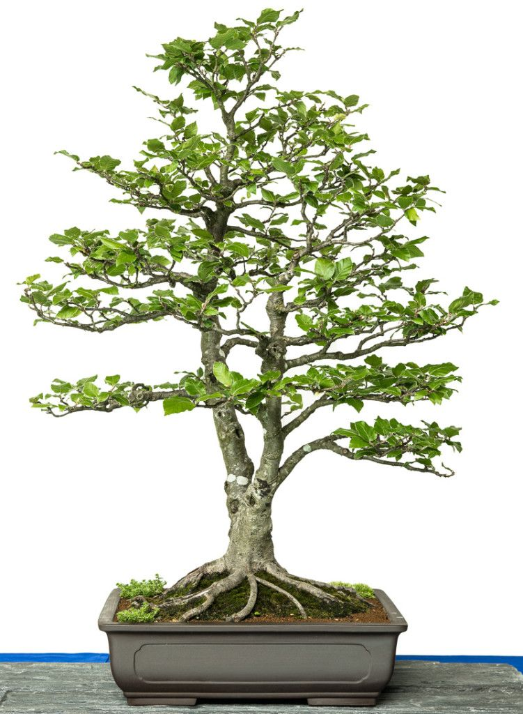 fagus sylvatica bonsai tree bonsai b ume bonsai indoor bonsai tree und bonsai garden. Black Bedroom Furniture Sets. Home Design Ideas