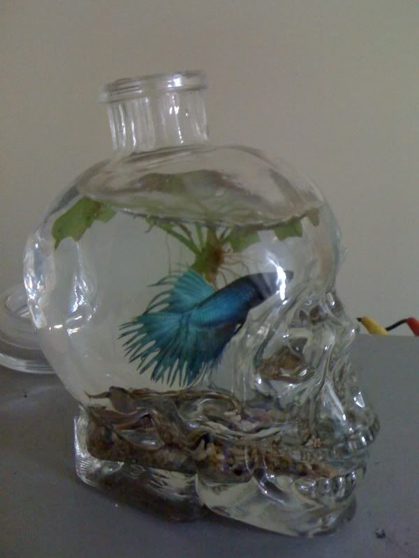 Something to use my crystal head vodka bottle for once i for Beta fish bowl
