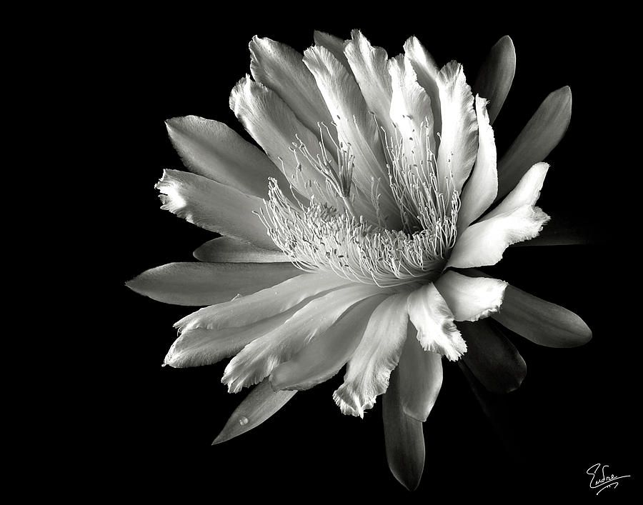Night blooming cereus google search flowers pinterest flowers night blooming cereus in black and white print by endre balogh mightylinksfo Image collections