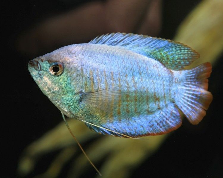 Blue Neon Dwarf Gourami Fresh Water Fish Tank Tropical Fish Tanks Aquarium Pictures