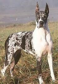Great Dane Great Dane Dogs Great Dane Dogs