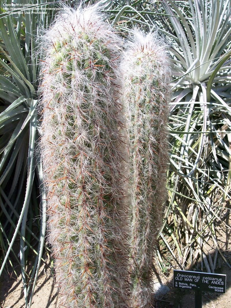 Oreocereus celsianus OLD MAN CACTI Seeds!