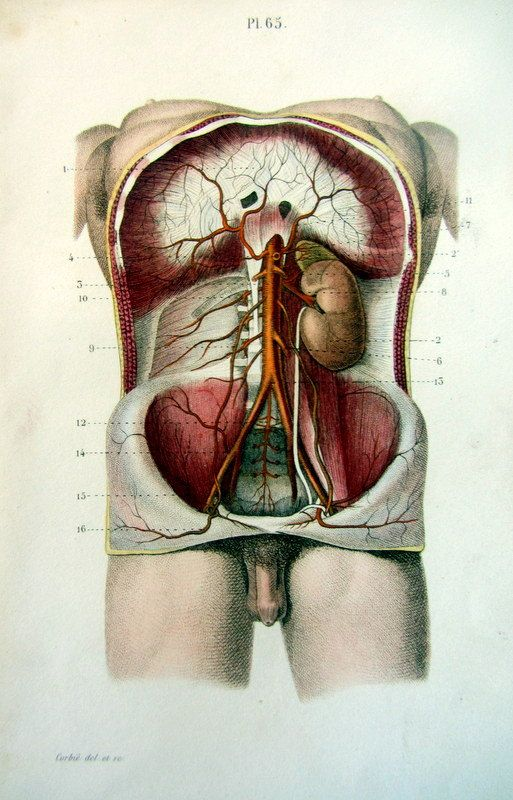 1852 Vintage Human Abdomen Anatomy Print By Lyranebulaprints 2950