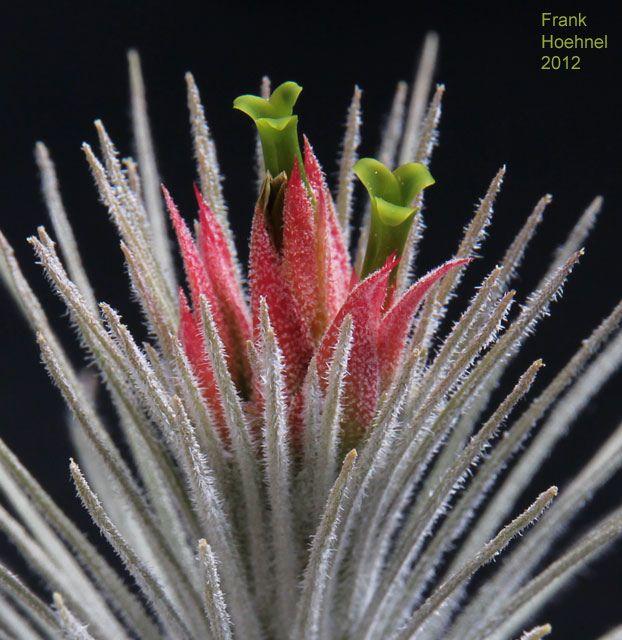 Tillandsia atroviridipetala by fhoehnel, via Flickr