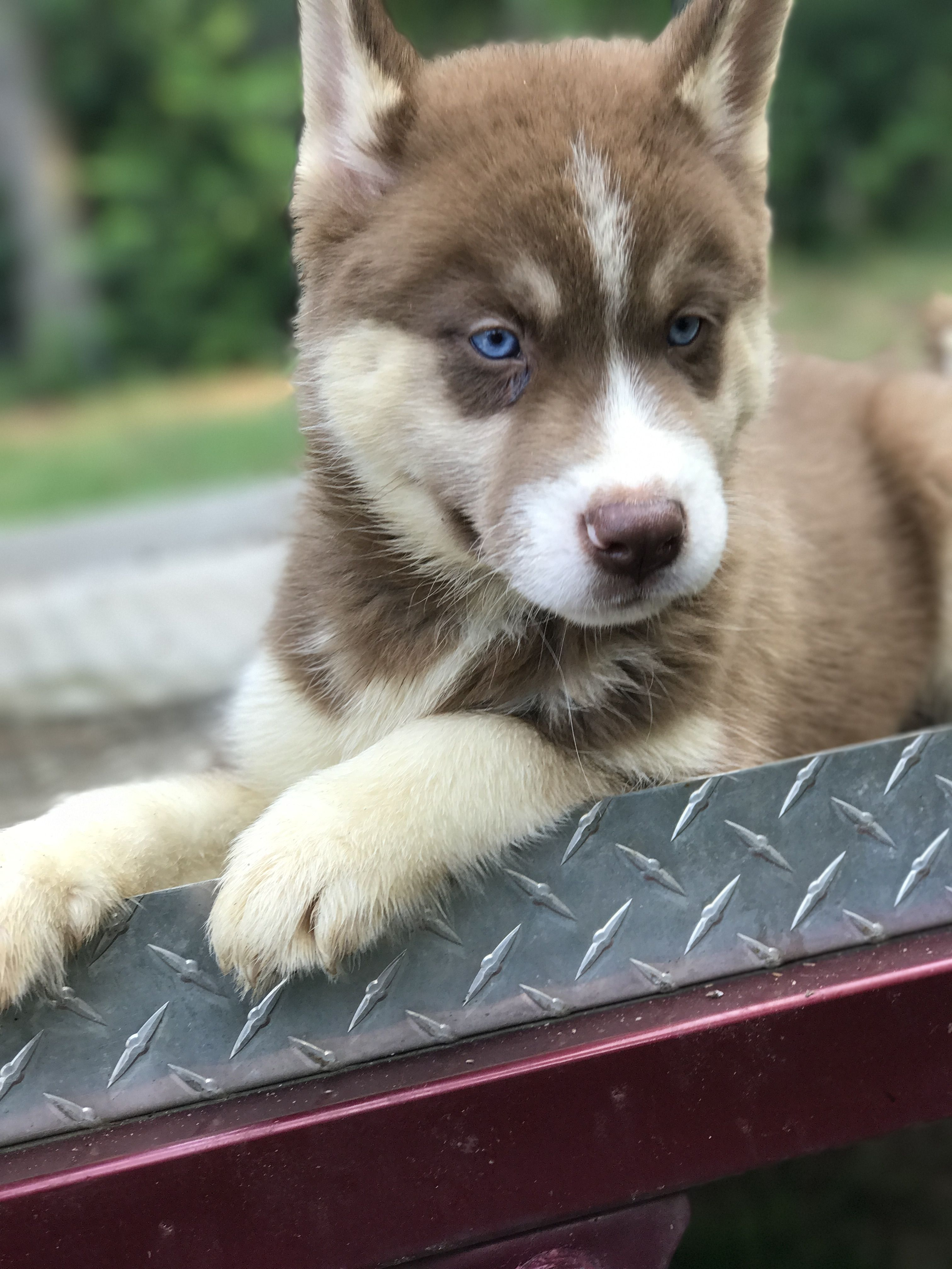 Just Relaxing Baby Animals Cute Animals Husky