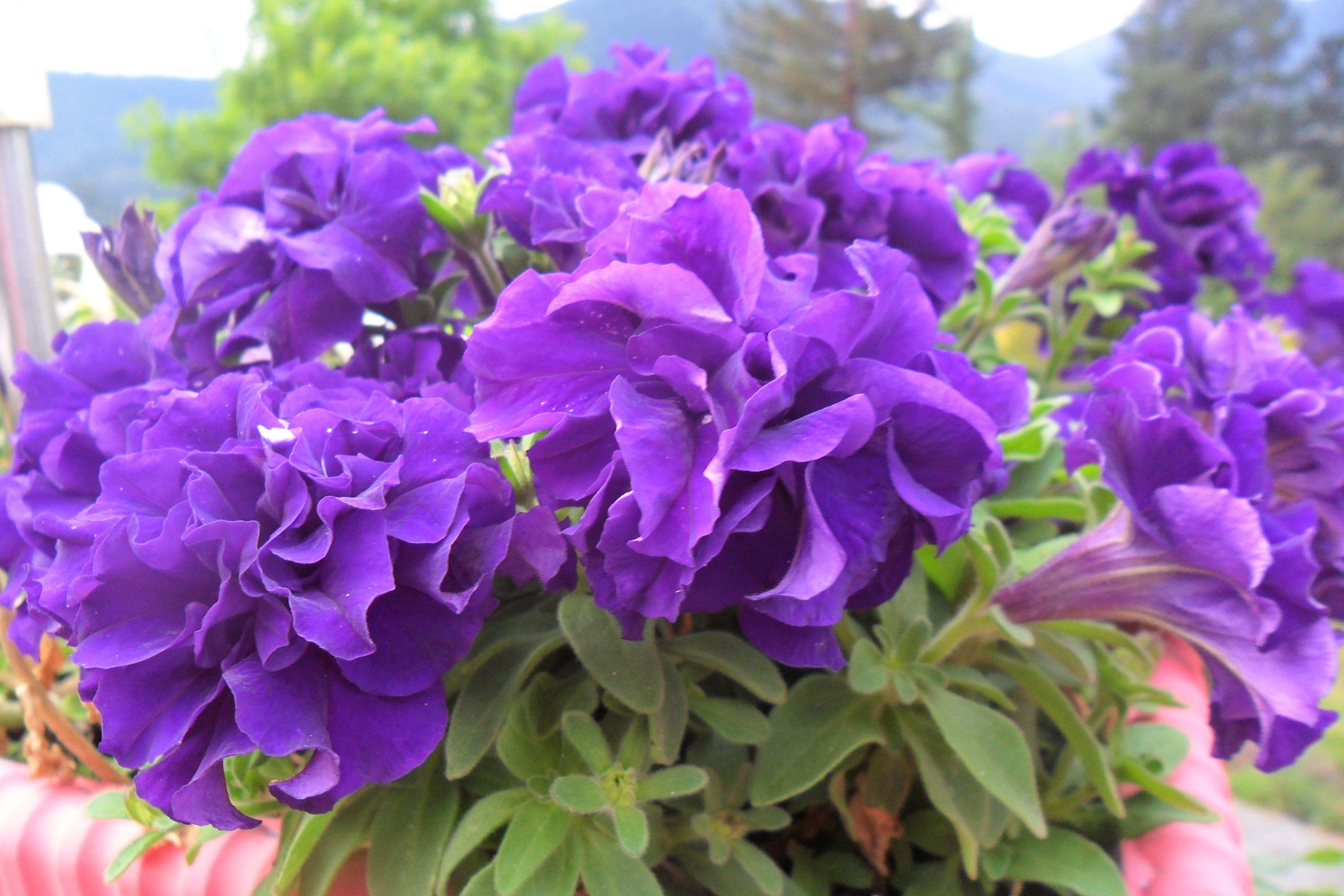 Purple Ruffled Petunias