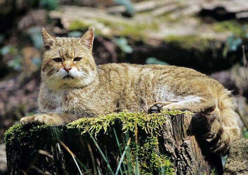 Wildkatzen im Winter Bund für Umwelt und Naturschutz