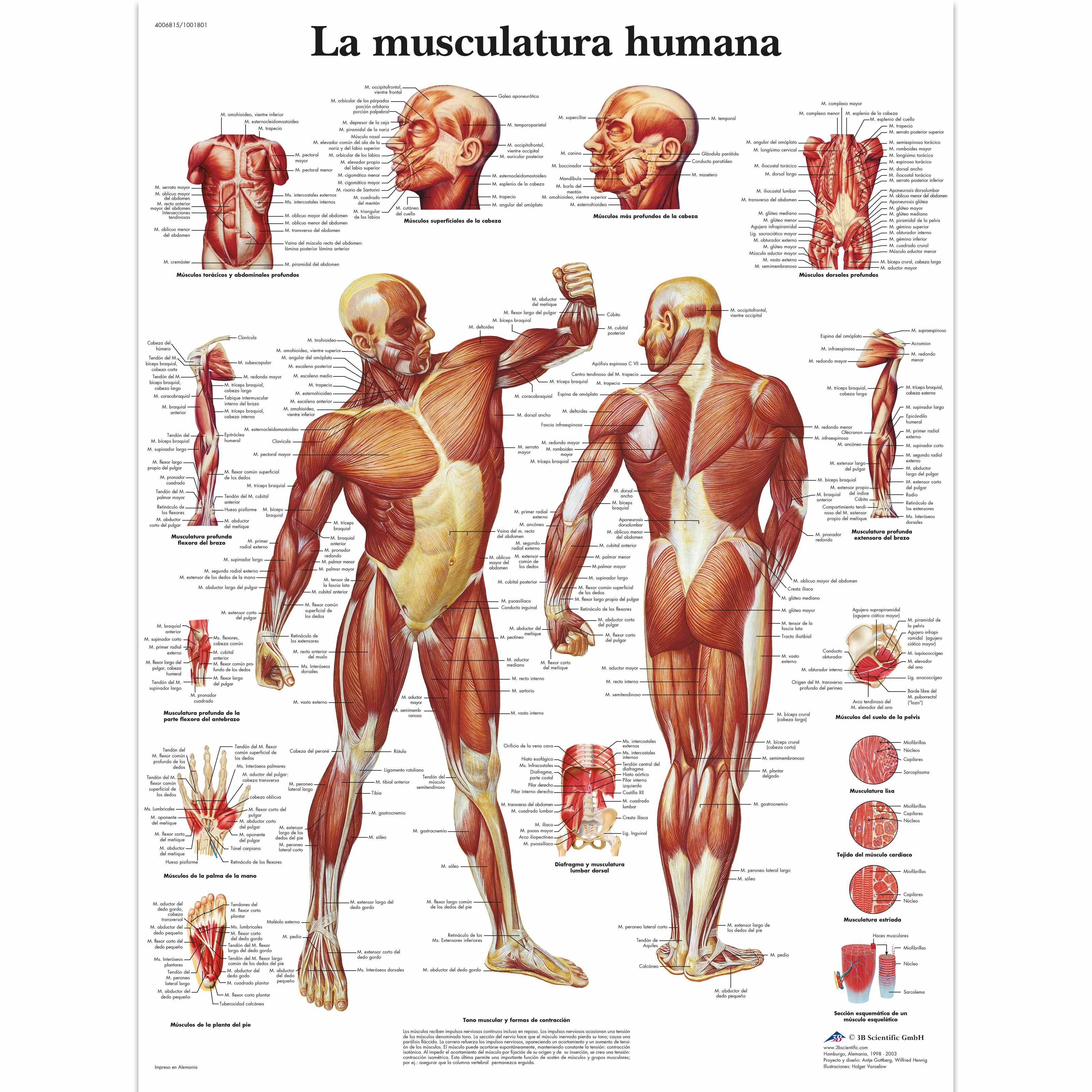 La Musculatura Humana 4006815 Vr3118uu Músculo Anatomía Del Esqueleto Humano Anatomía Del Esqueleto Anatomia Humana Musculos