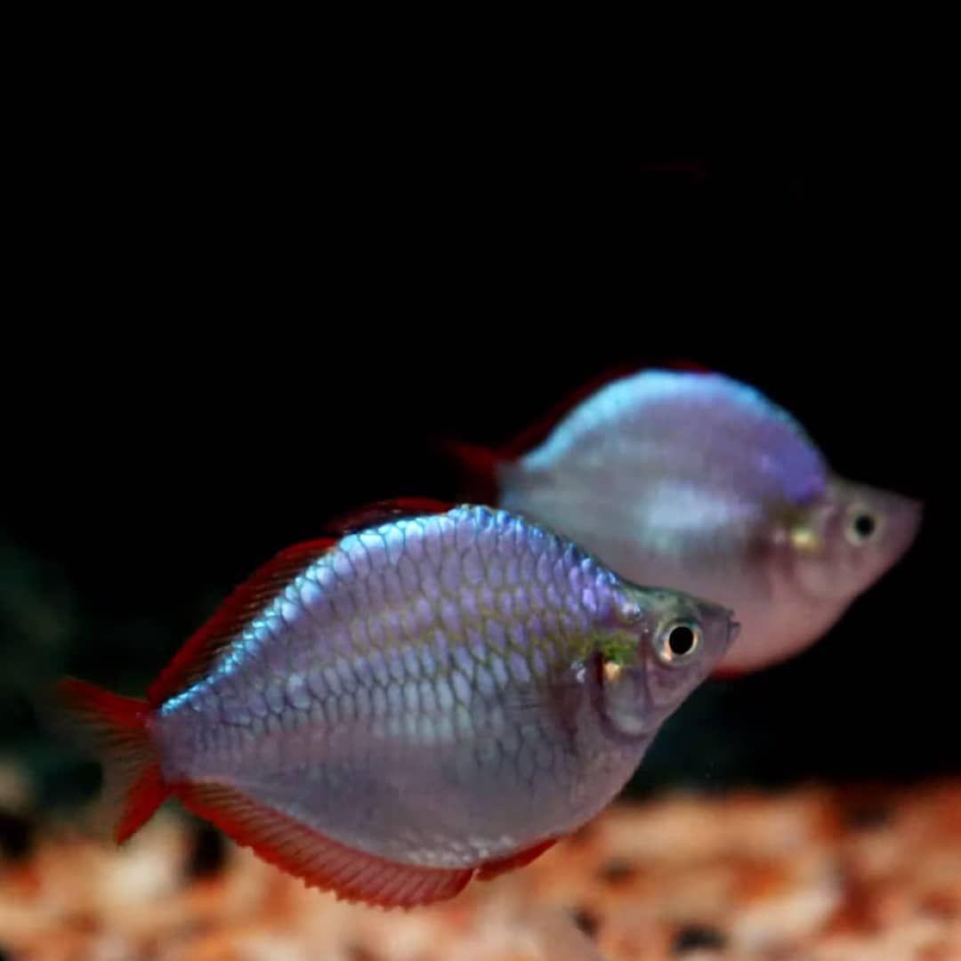 Short Body Dwarf Neon Rainbows Credit Goes To Ryo Watanabe On Youtube Via Coolfishnetwork On Instagram Rainbow Fish Aquascape Neon Rainbow