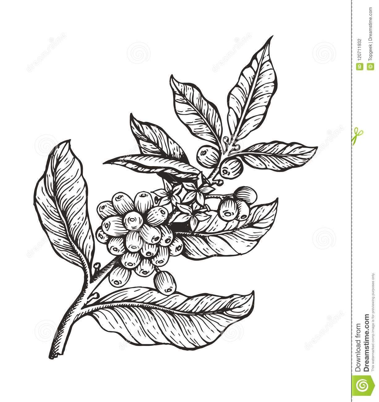 Photo About Coffee Tree With Beans Coffea Sketch And Colorless Image Leaves And Coffee Beans Organic Plant Ve Coffee Tattoos Coffee Flower Coffee Illustration