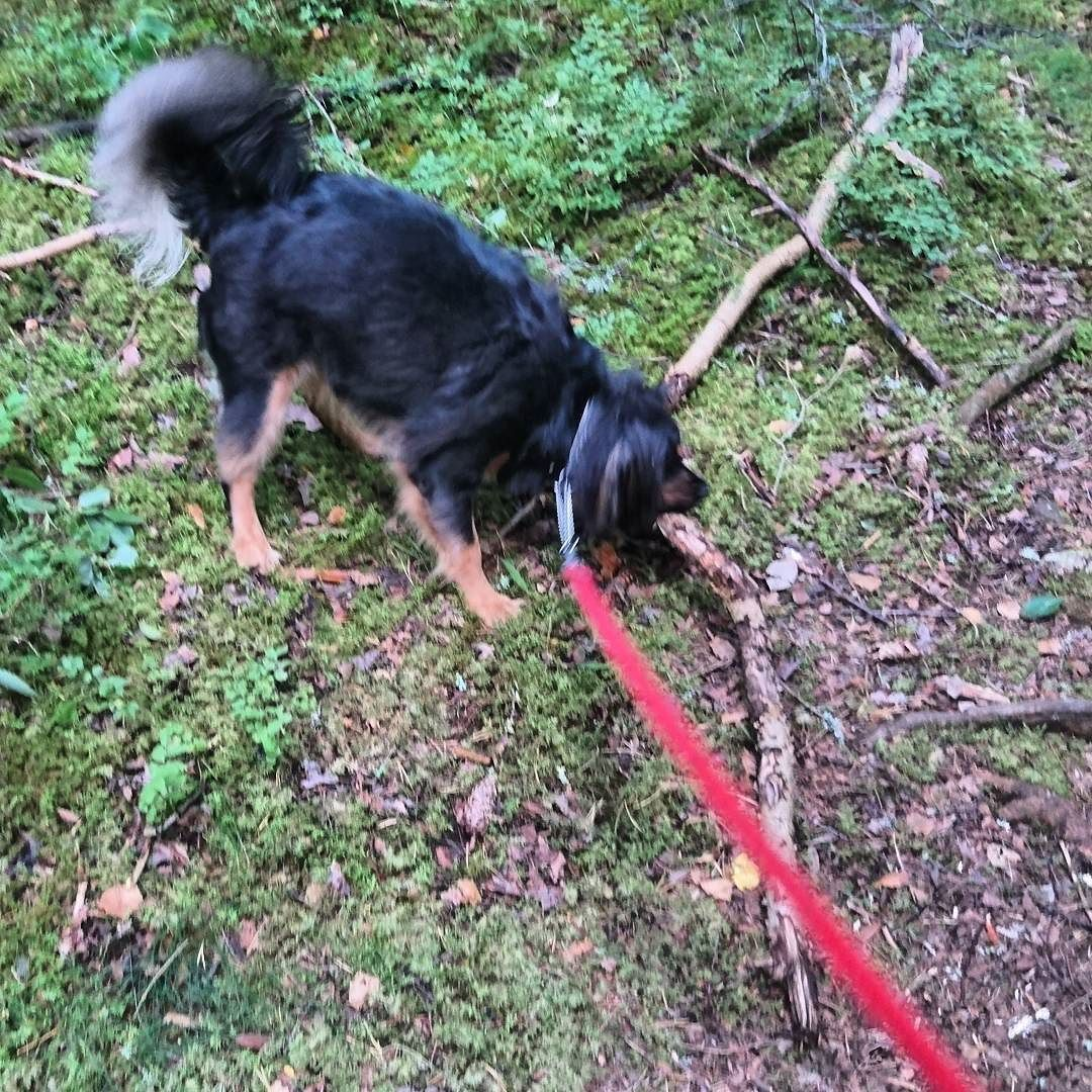 There's no such thing as a too big stick!  #stupid #little #cute #dog