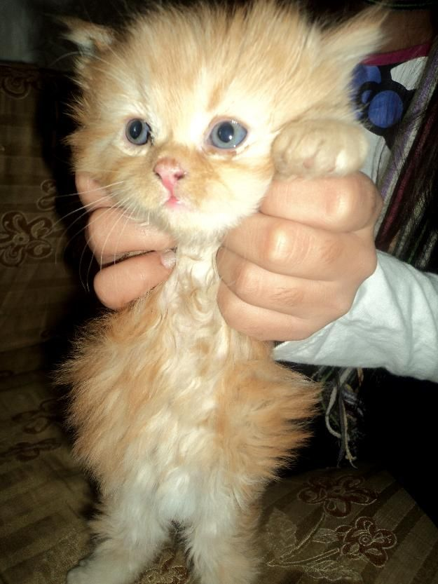 Post Free Classified Ads In Pakistan Persian Kittens For Sale At Nominal Price Lahore Persian Kittens For Sale Persian Kittens Kittens