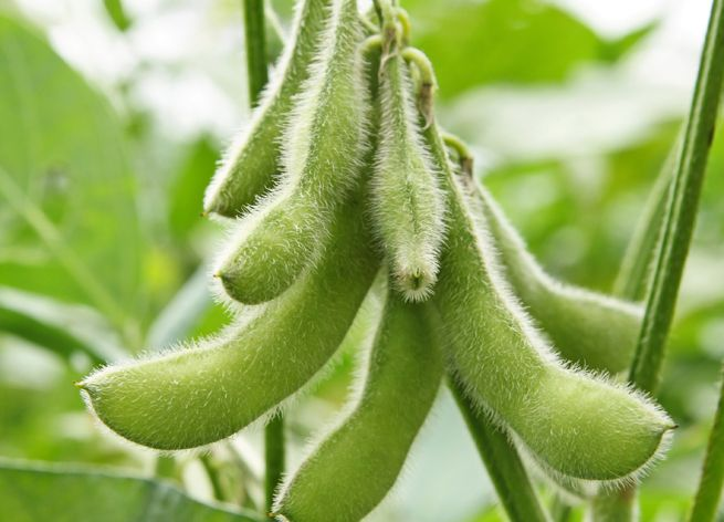 16 Foods That Are Uniquely Arkansas With Images Soybeans Plant