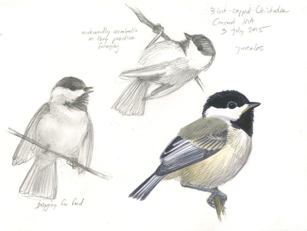 Juvenile chickadees   Bird drawings, Bird art, Animal drawings - photo#17