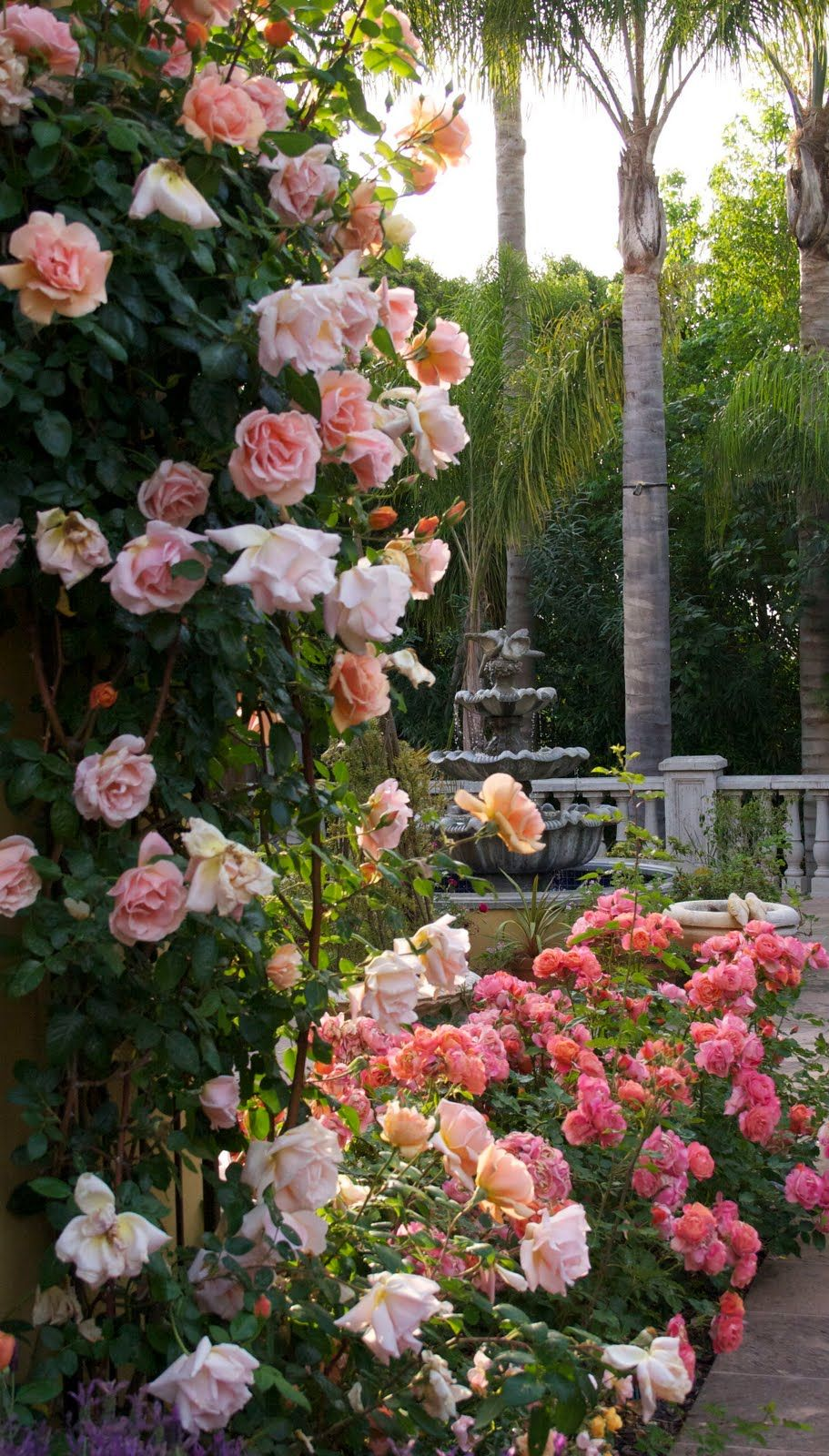 Even I Am In Awe Of This Exuberant Show Being Put On Today By The Roses The Climbing Rose Is Royal Sunset Rose Garden Design Beautiful Flowers Climbing Roses