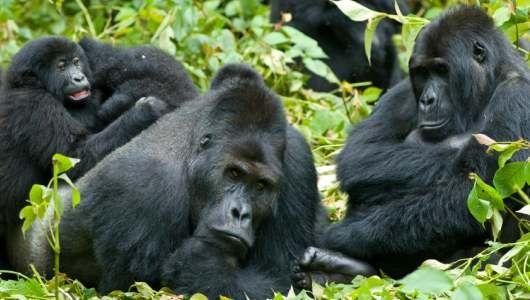 Eastern Lowland Gorillas | Gorillas in the Wild | Pinterest ...