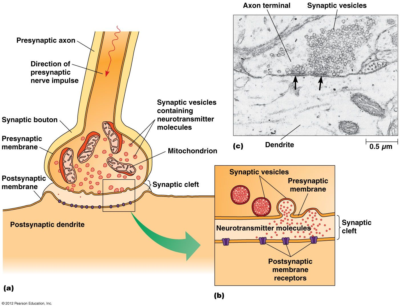 Neurotransmission Process Step By Step