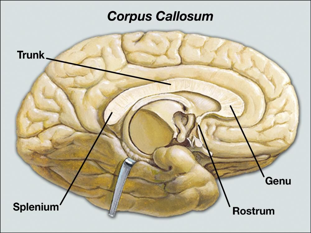 Corpus Callosum Anatomy Diagram - Information Of Wiring Diagram •