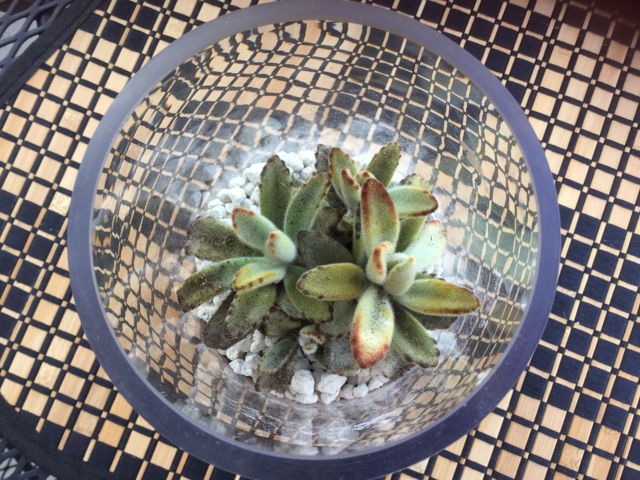 Top view Panda Succulent plant leaves are fuzzy blue silver grey in color