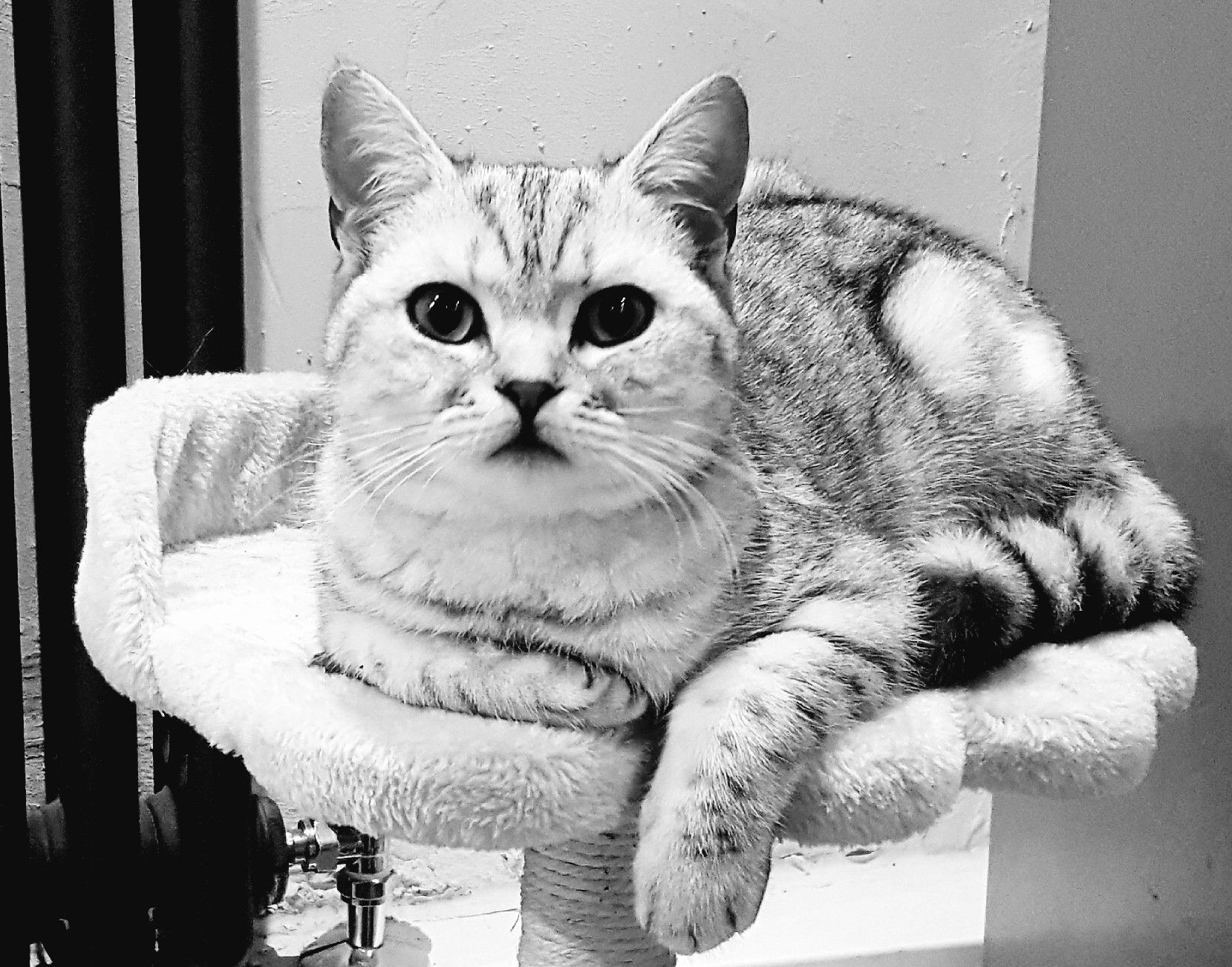 Pin by Chloe Allen on AWWW! British shorthair, Cats, Animals