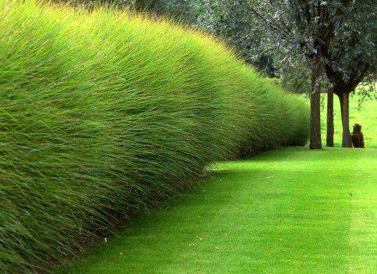 Haie de Miscanthus sinensis \'Gracillissimus\' accompagnée de Salix ...