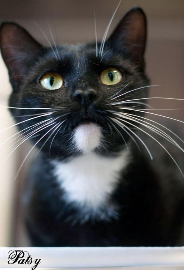 Adopt Patsy On Petfinder Animals Pets Kitten