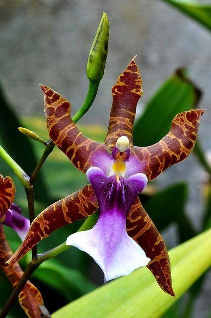Orchid - Miltonia clowesii