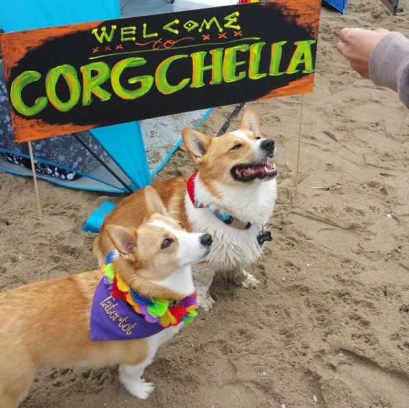 More Than 600 Corgis Had A Beach Party And It Looked Like Such A Blast Corgi Cutest Thing Ever Cute Animals