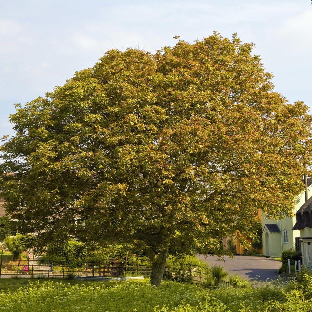 Der Walnussbaum Ist Mit Seiner Silbrigen Rinde Und Den Knorrigen
