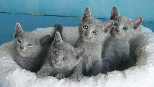 Russian Blue Kitten Russian Blue Kitten Russian Blue Russian Blue Cat