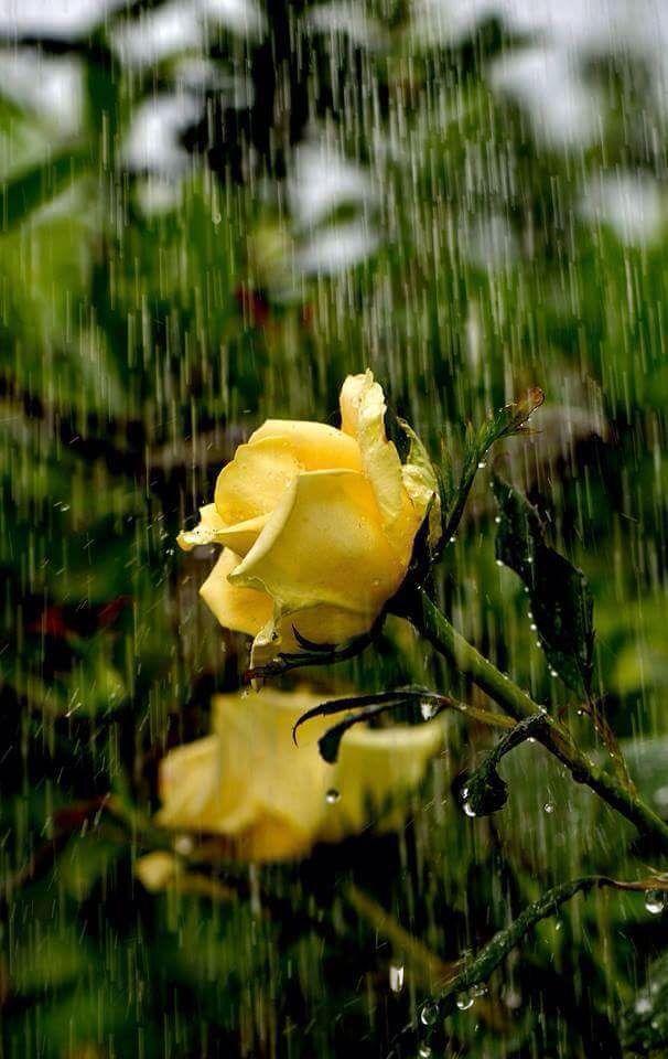 Yellow Roses In Rain Beautiful Flowers Wallpapers Yellow Roses Beautiful Roses
