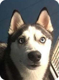Springdale Ar Siberian Husky Mix Meet Zeus A Dog For Adoption